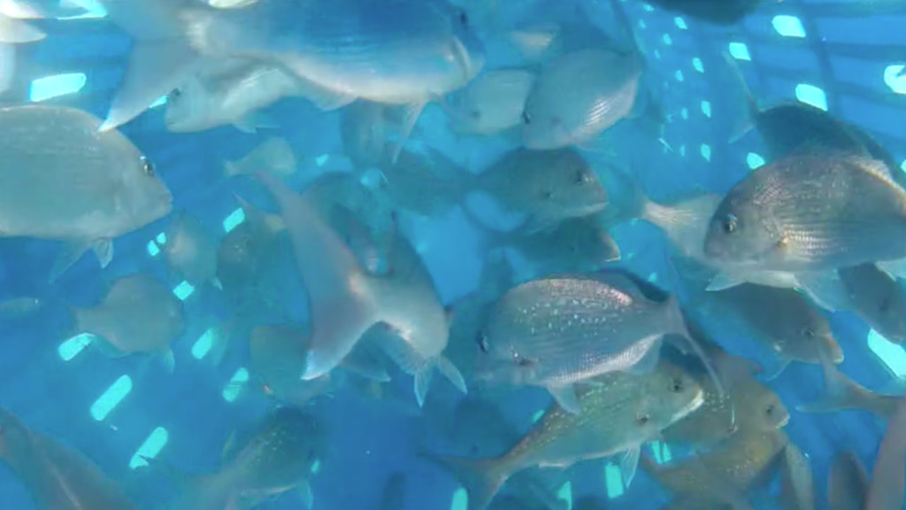 Underwater footage of the Precision Seafood Harvesting technology